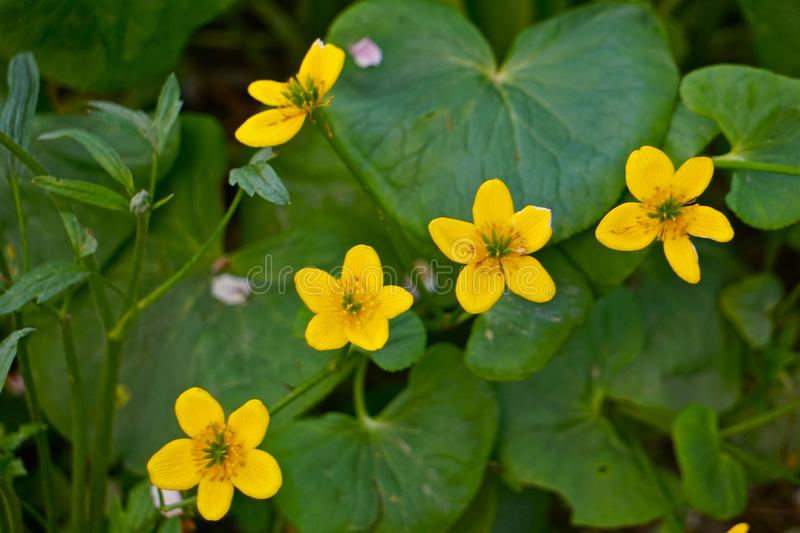 Marsh Marigold flowers royalty free stock photos