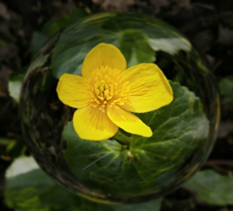 Marsh marigold in glass sphere arkivbild