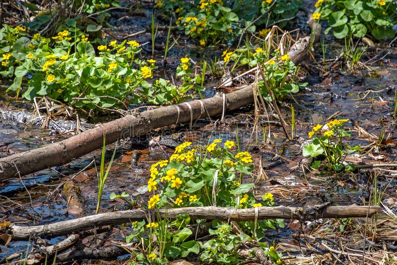 Marsh marigold plants in wetland stock photography