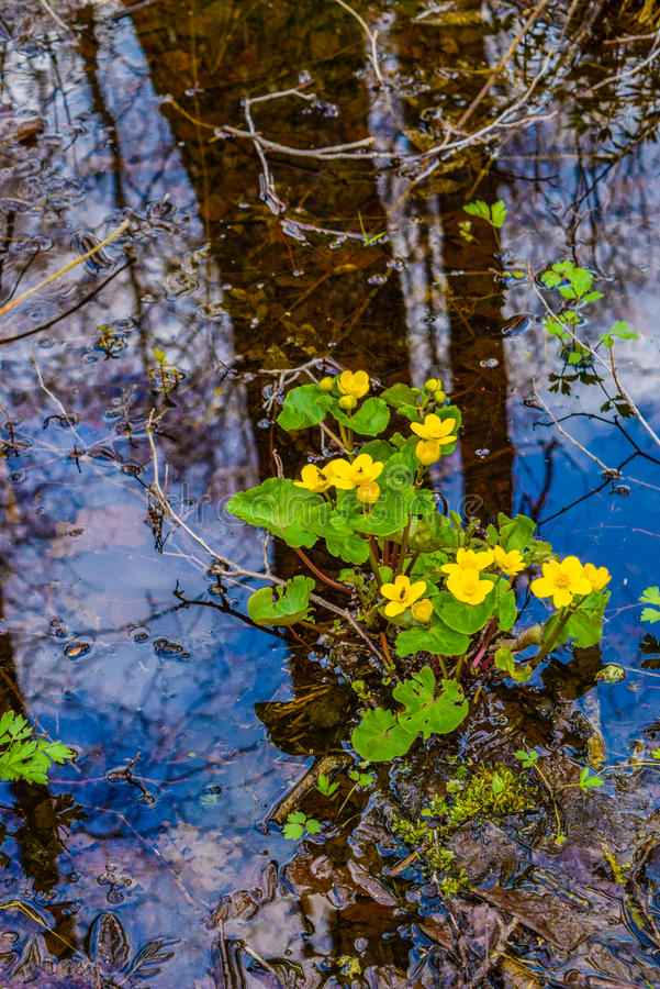 Marsh Marigolds stock afbeelding
