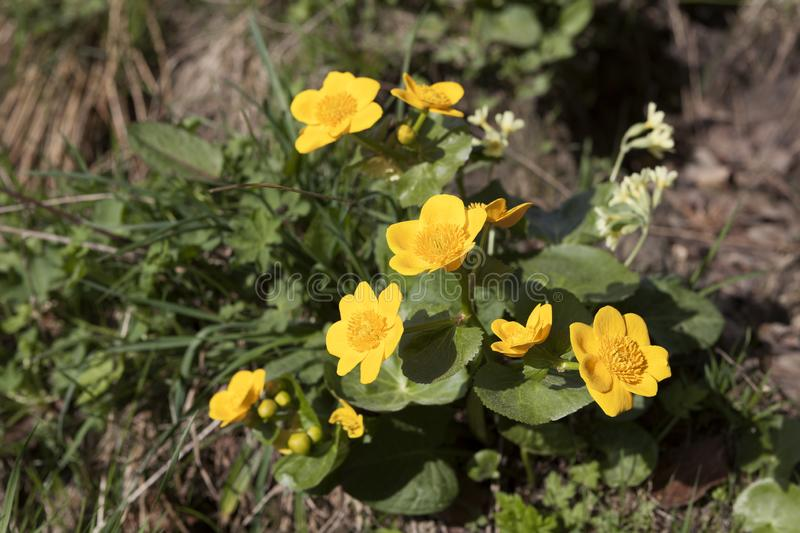 Marsh Marigolds on a meadow royalty free stock photo