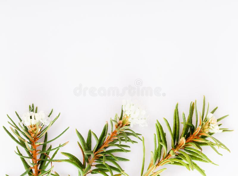 Marsh Northern Labrador Tea, Ledum palustre plant isolated on a white background. royalty free stock photo