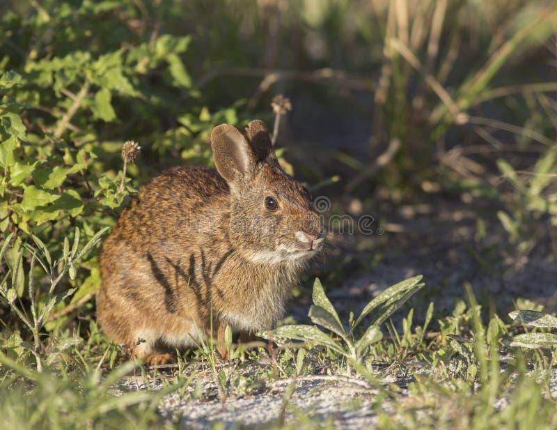 Marsh Rabbit op zandduin royalty-vrije stock foto's