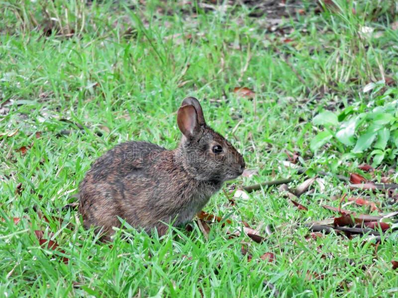 Marsh rabbit at Ding Darling refuge in Florida. A marsh rabbit (Sylvilagus palustris) in marshes at the J. N. 'Ding' Darling National Wildlife Refuge in Sanibel royalty free stock images