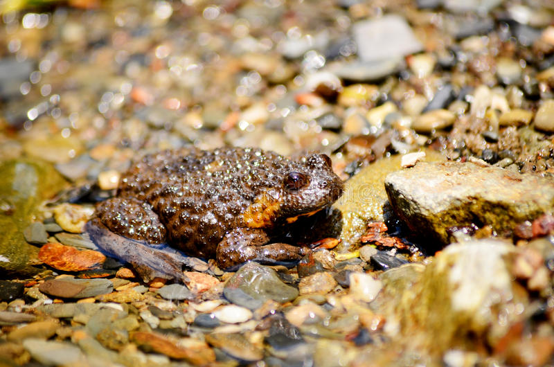 Marsh river Frog in a river full of river stones. Close up royalty free stock photo