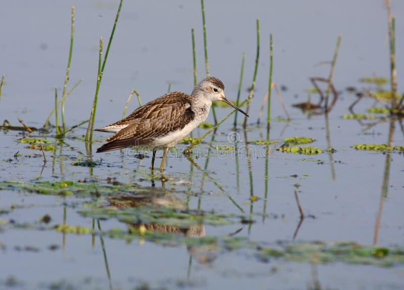 Download Marsh sandpiper stock image. Image of avian, river, bird - 19095225