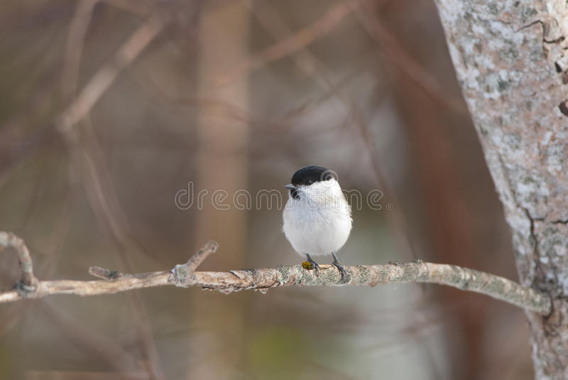 Marsh Tit. On a branch in spring stock photo