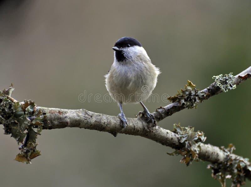 Marsh Tit Palustris de Poecile fotos de stock royalty free