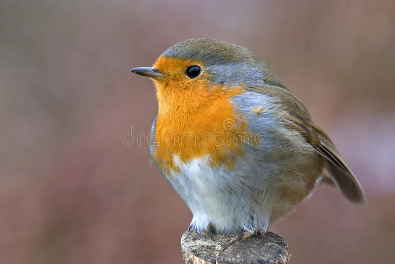Download Marsh tit stock photo. Image of feather, rubecula, robin - 39503942