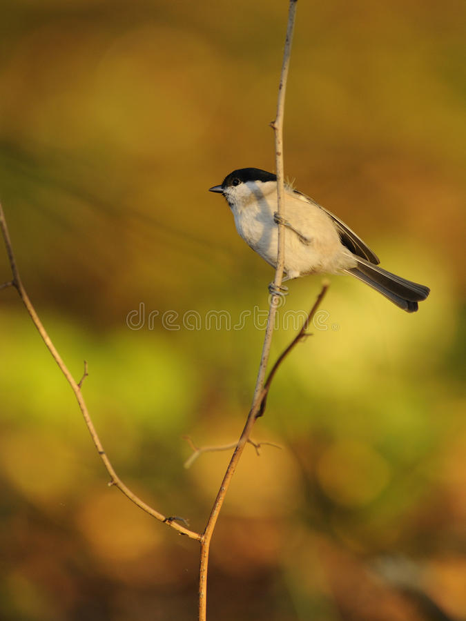Marsh Tit (Poecile palustris) stock photos
