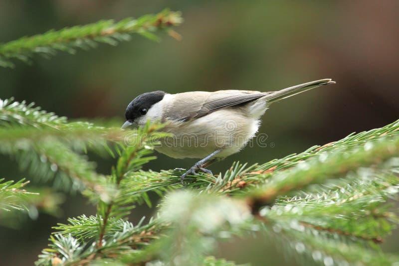 Download Marsh tit stock photo. Image of bird, passerinepoecile - 30454972