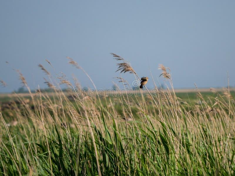 Marsh Warbler che ondeggia sulla canna immagine stock