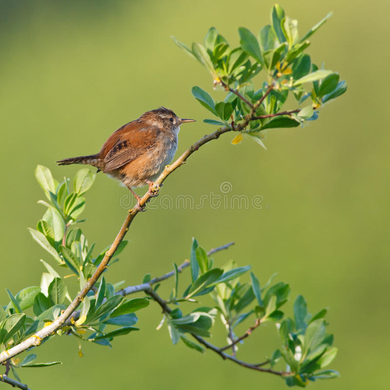 Marsh Wren Royalty Free Stock Photo