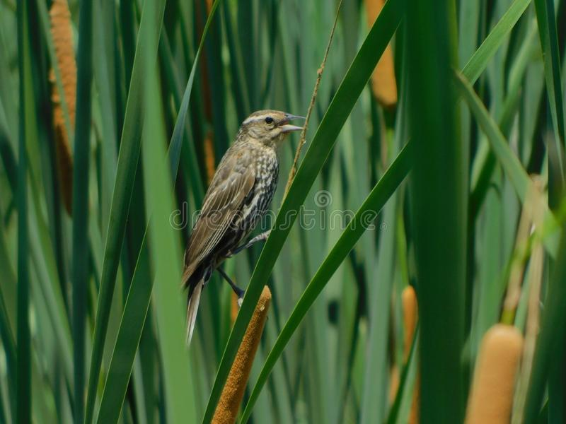 Marsh Wren on a Cattail. This Marsh Wren was very vocal as it clung to the Typha stock image