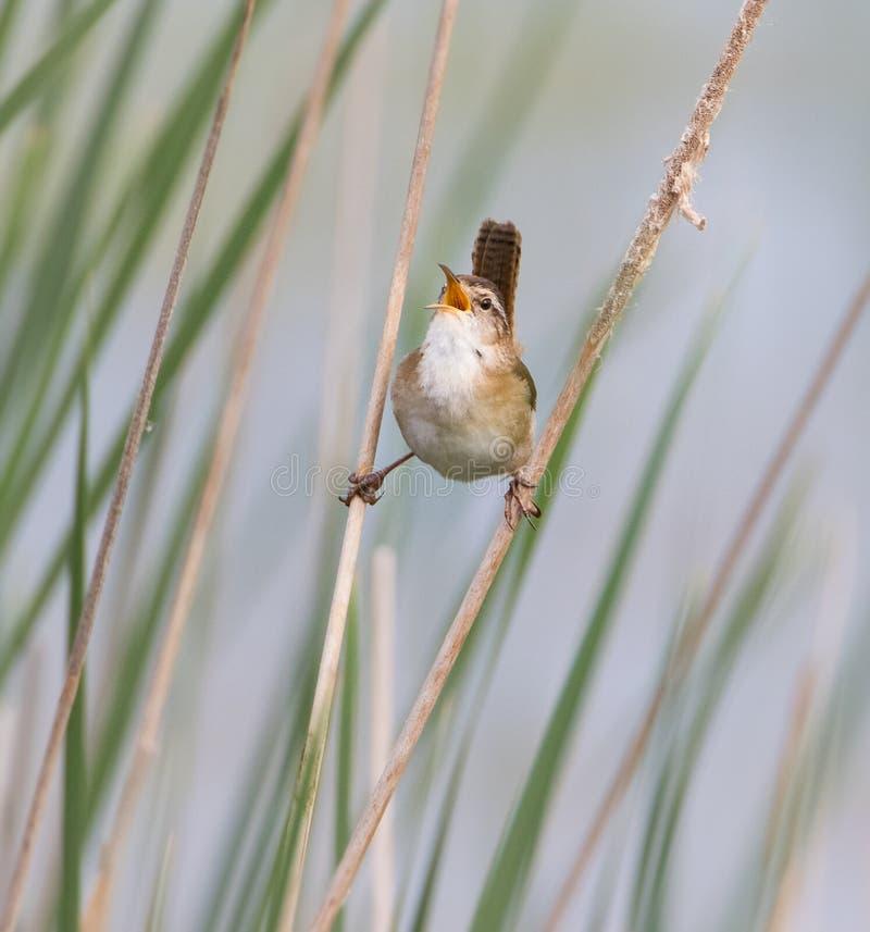 Marsh Wren che canta nel campo di erba immagine stock