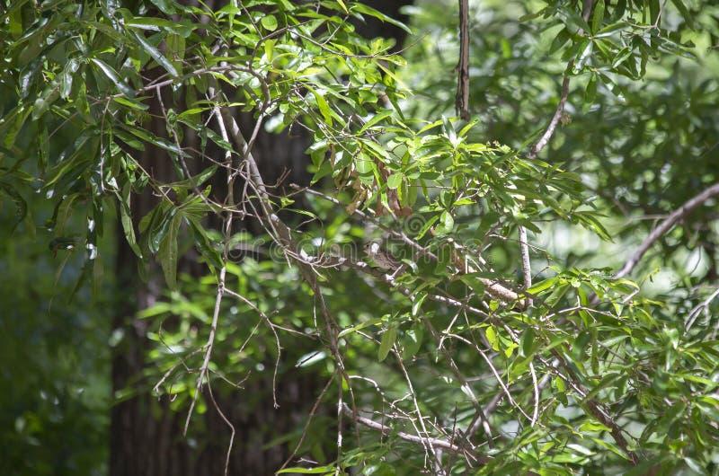 Marsh Wren in una foresta fotografie stock