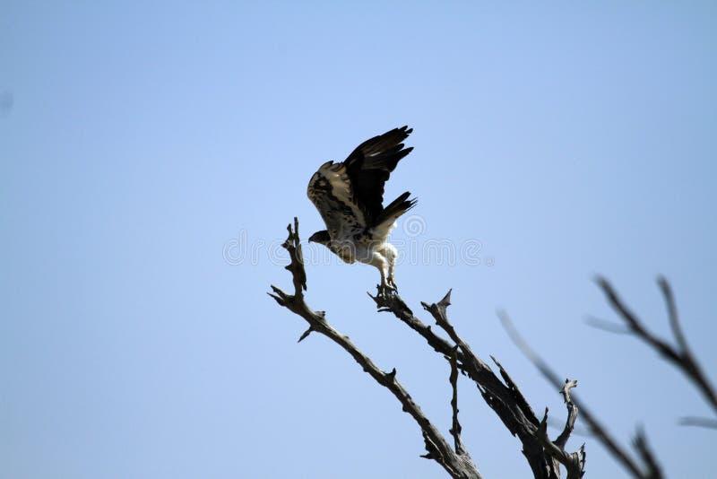 Marshall Eagle fotografie stock