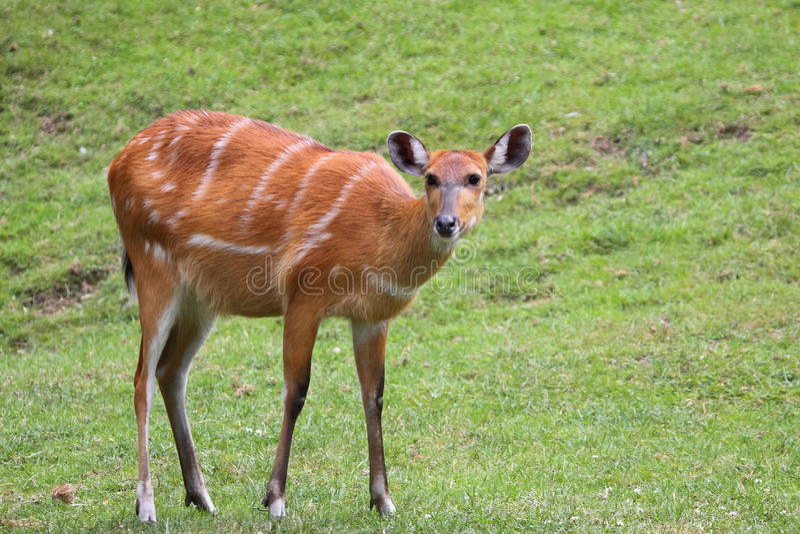 Download Marshbuck stock image. Image of spekei, tragelaphus, female - 19962337