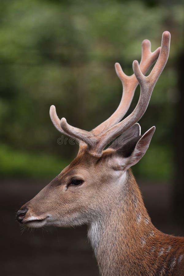Marshbuck