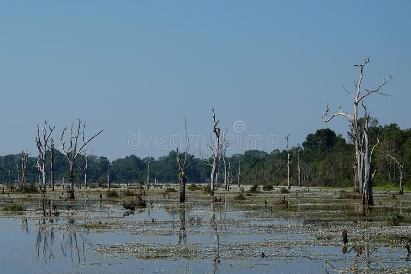 Marshland in the jungle of south-east Asia. Gloomy landscape. Dead trees stock photo