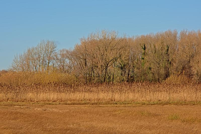 Sunny marsh landscape with meadows, bare trees and golden reed in autumn stock photo