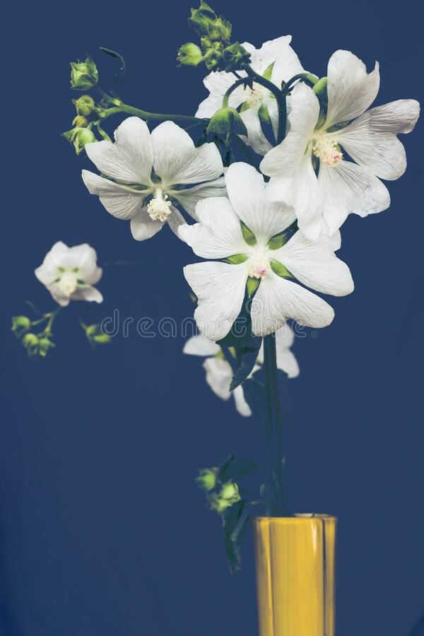 Marshmallow flowers  on blue background  medically extremely useful plant stock photography