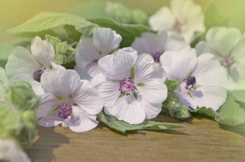 Marshmallow officinalis Althaea στοκ εικόνες