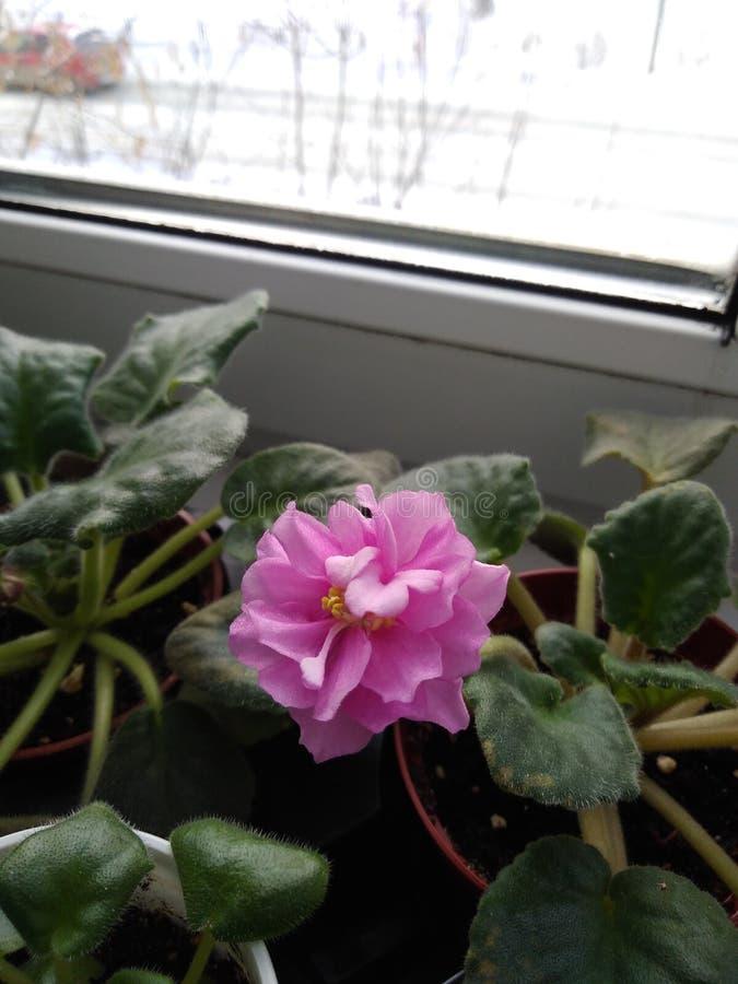Marshmallows de florescência da EK-pérola do cultivar do Saintpaulia no peitoril da janela em um dia de inverno foto de stock