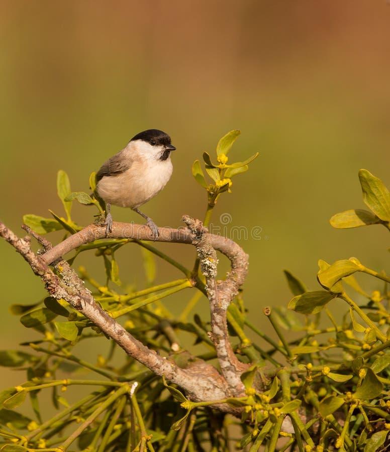 MarshTit på Mistletoe royaltyfri bild
