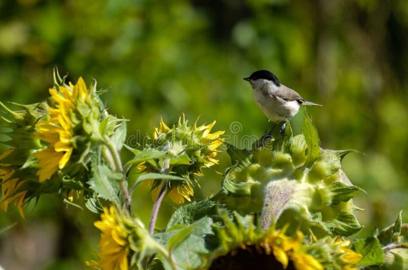 Marshtitfågel på solrosen royaltyfri foto