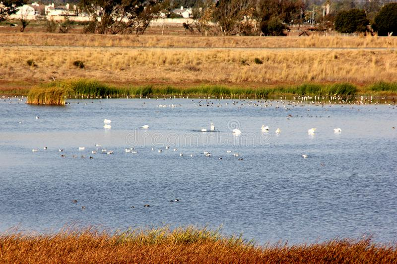 Marshy salt ponds in Coyote Hills Regional Park, Fremont, California. Frequented by Snowy egret, ducks and other water birds, supporting rushes, cattails and stock images