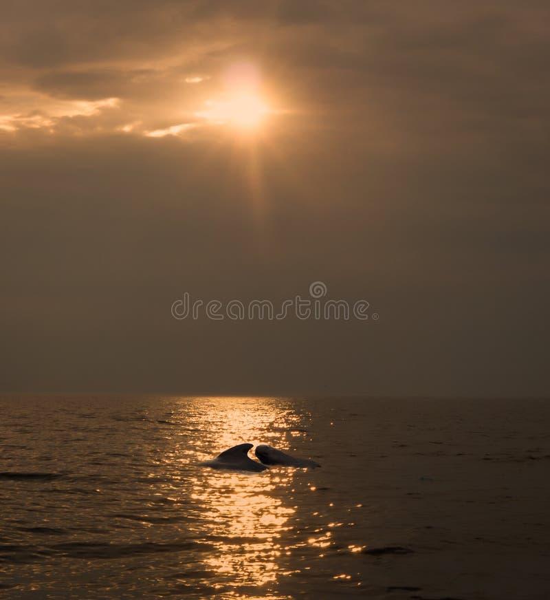 Marsouin de port contre la lumière du soleil photos libres de droits