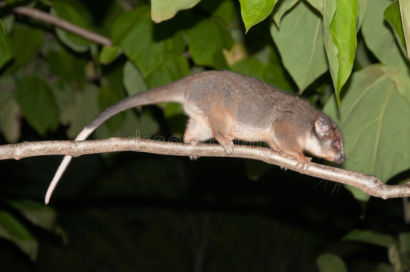 Marsupial stock photography