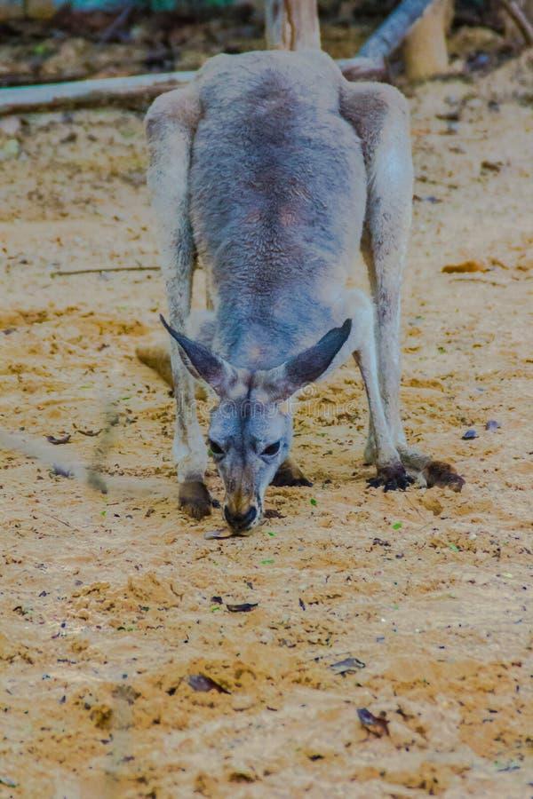 Marsupial do canguru do animal do mamífero do Macropodidae da família em fotos de stock
