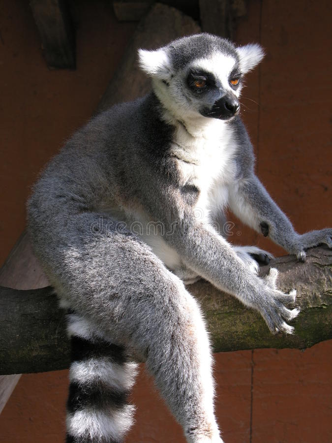 Marsupiale immagine stock