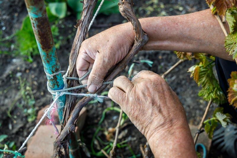 Marszczyć męskie ręki wiążą winogradu metalu słup zdjęcia royalty free