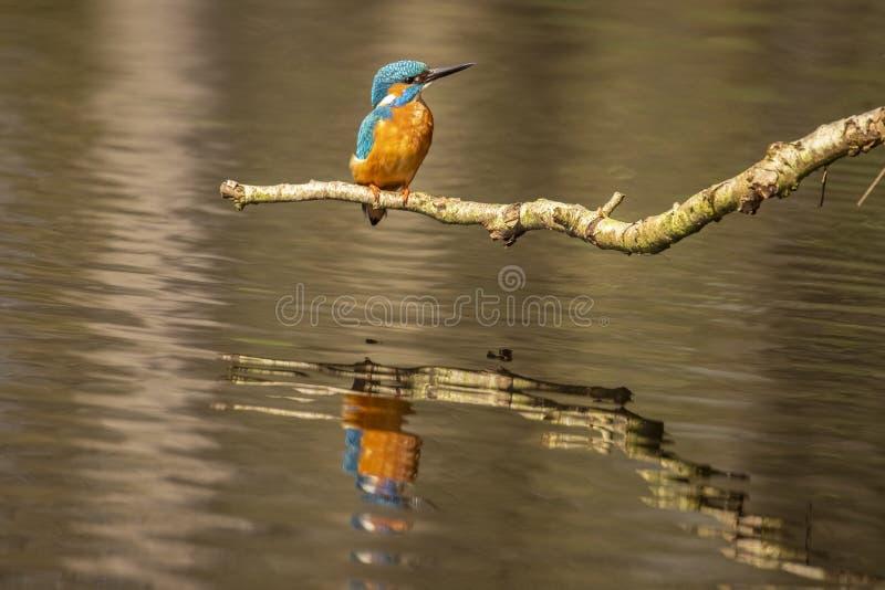 Martín pescador, atthis del Alcedo Un pájaro que se zambulle imagen de archivo