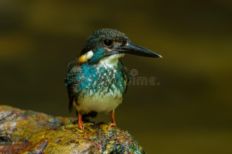 martín pescador Azul-congregado imagen de archivo libre de regalías