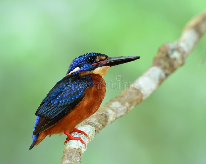 martín pescador Azul-espigado (Alcedo meninting) el poco azul rechoncho fotos de archivo