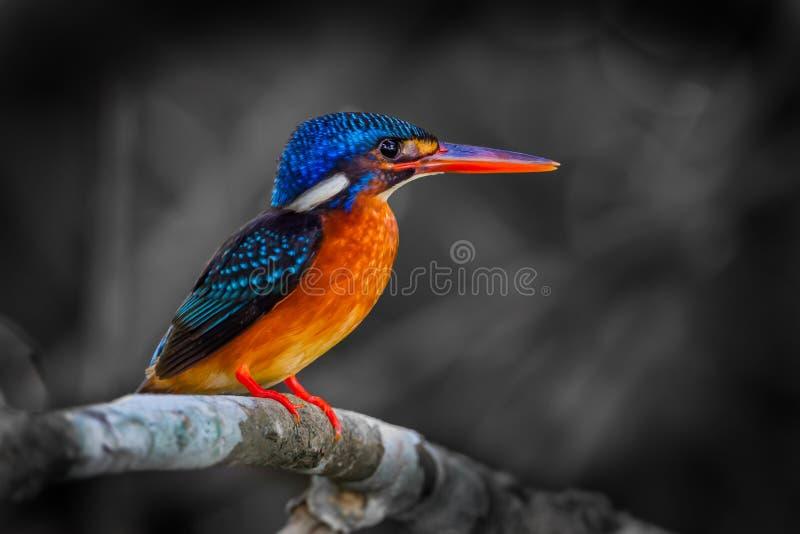 Martín pescador Azul-espigado femenino imagen de archivo
