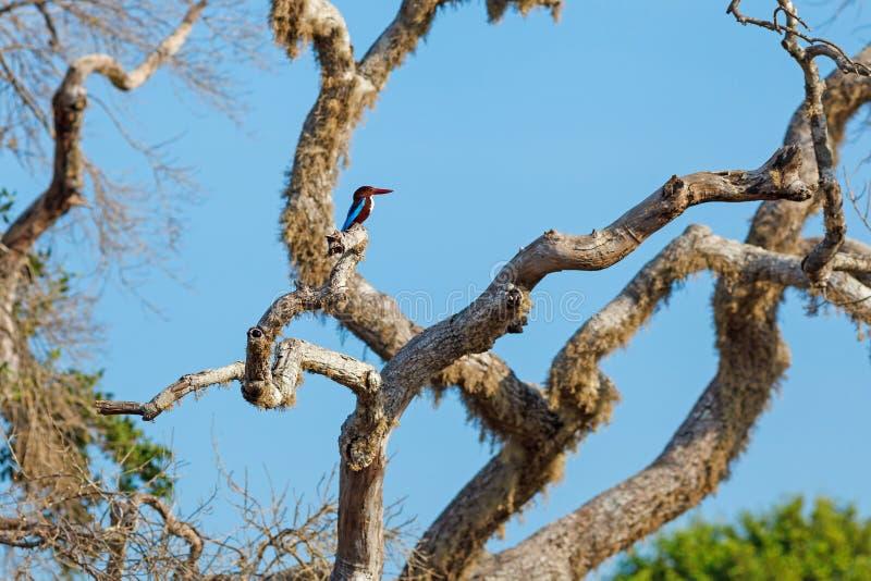 martín pescador Blanco-throated que se sienta en árbol foto de archivo