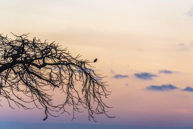 Martín pescador ceñido - alcyon de Megaceryle en la puesta del sol en el La Boca foto de archivo