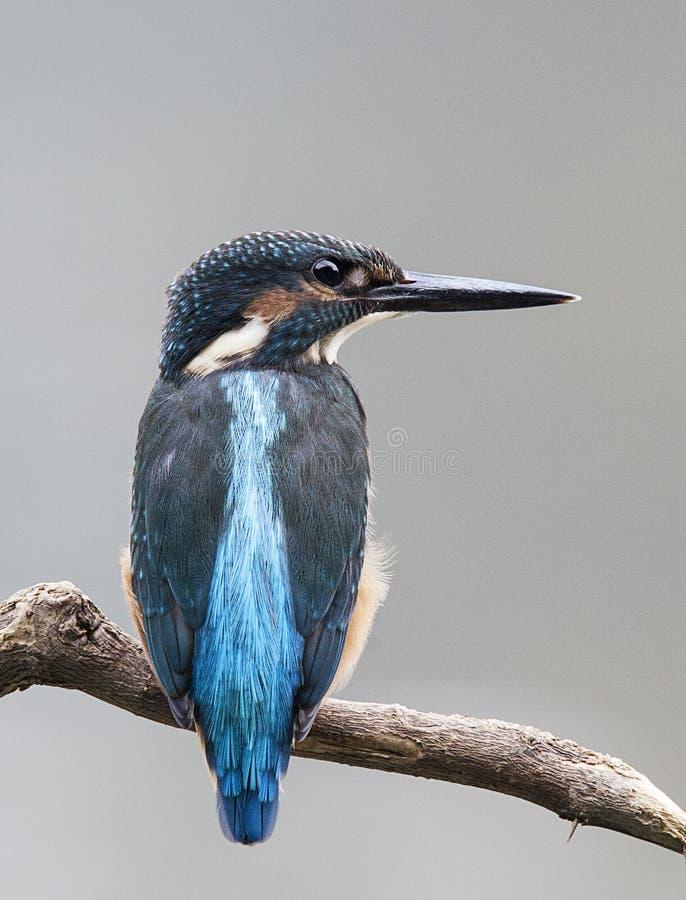 Martín pescador común foto de archivo