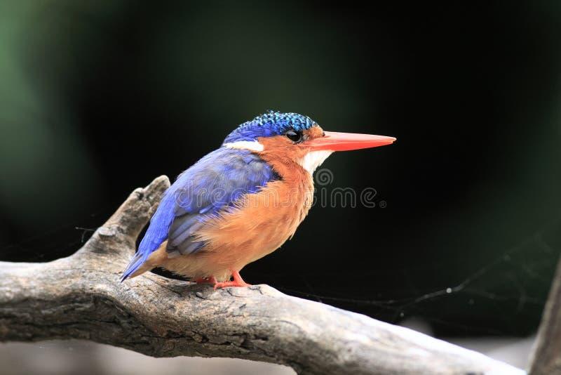 Martín pescador de la malaquita (cristata del Alcedo) foto de archivo libre de regalías