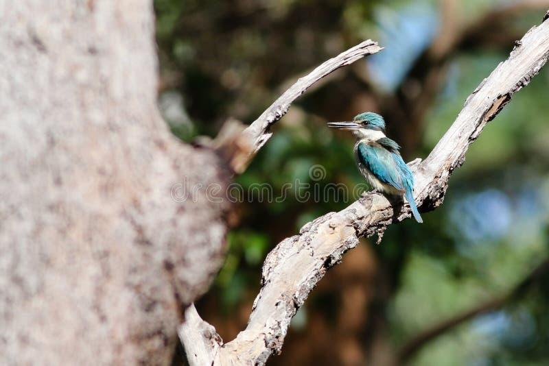 Martín pescador sagrado del australiano fotografía de archivo