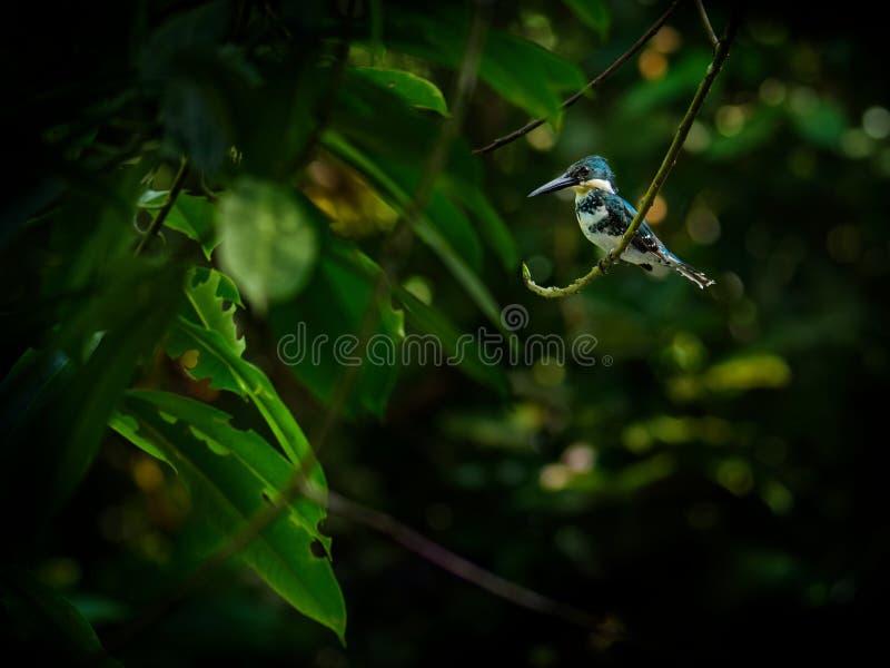 Martín pescador verde - pájaro residente de la cría de Chloroceryle americana que ocurre de Tejas meridional en el sur de Estados foto de archivo