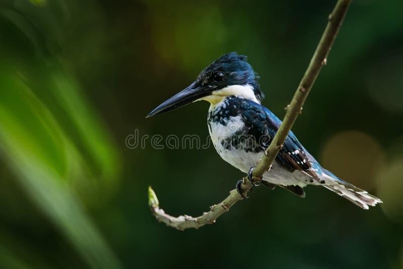 Martín pescador verde - pájaro residente de la cría de Chloroceryle americana que ocurre de Tejas meridional en el sur de Estados imagen de archivo libre de regalías