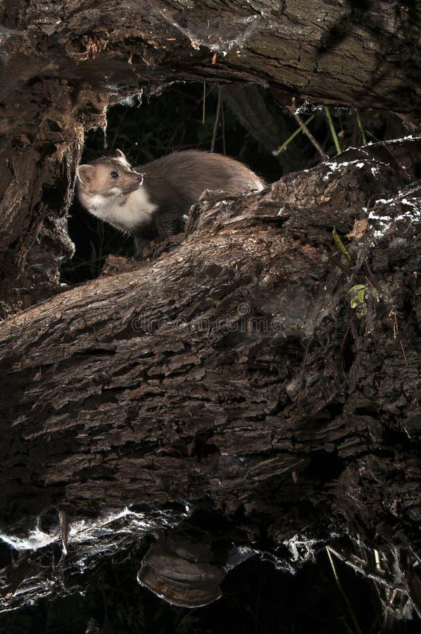 Marta de pedra - foina do Martes, de uma árvore, mamífero noturno foto de stock royalty free