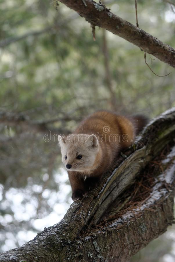 Marta de pino americana imagen de archivo libre de regalías