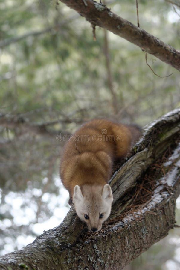 Marta de pino americana foto de archivo libre de regalías